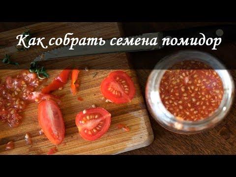 Как собрать семена томатов быстро и правильно