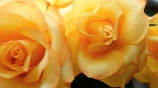 видео Вьющиеся розы посадка и уход: правильная подвязка и обрезка