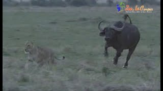 ライオンとバッファローの攻防戦 バッファローを仕留めようとするライオ...