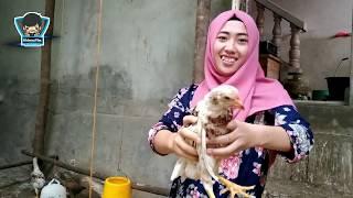 Panen Ayam Kampung Super Usia 40 Harian, Hemat Banyak Biaya Pakan
