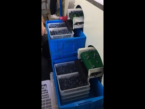 Blueberry Sizing And Sorting Machine In One Farmer's Plant