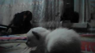 Обзор на сиамского котёнка которому 15 дней
