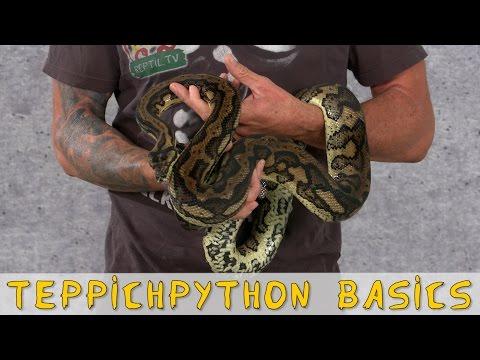 Reptil TV - Folge 95 - Teppichpython / Carpet Python Basics