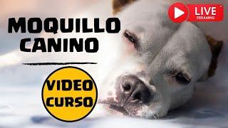 Moquillo en Perros | Curso GRATIS  para Aprender Todo sobre el Moquillo Canino thumbnail