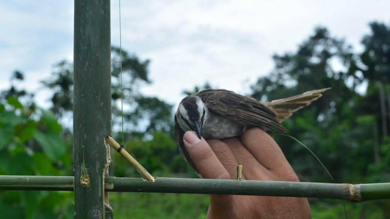 jebakan dari bambu untuk bermacam jenis burung liar, tanpa meleset