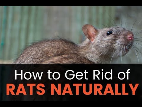 Here are some home remedies to get rid of rats..Try them out