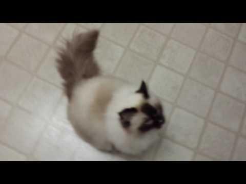 Ragdoll cat Savanah follow u room to room (puppy kitty)