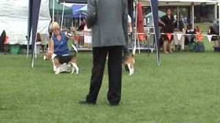 Puppy In Show - The Beagle Club Of Nsw (aust) 86th Champ Show - 11 April 2009