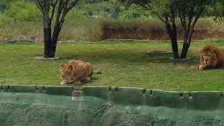 Leona intenta atacar a paseantes del BioParque en Nuevo Leon
