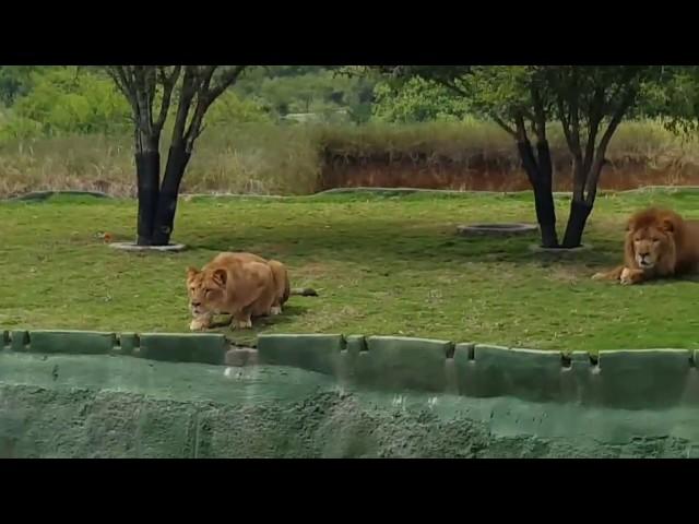 Esta leona se lanzó a por unos turistas en un zoológico de México y...