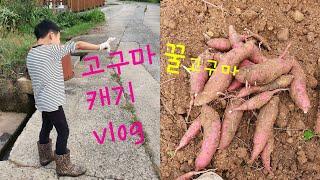 [농촌life]꿀 고구마 수확vlog 농촌체험 고구마캐…