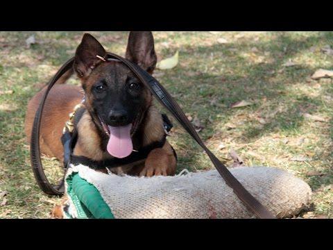 Curso Adestramento de Cães de Guarda - Primeira Fase, Estímulo da Caça