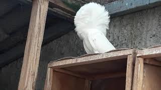 Белые Якобины