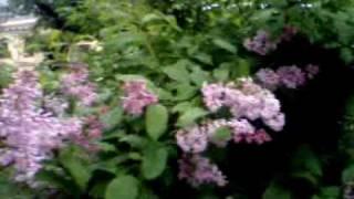 видео Сирень венгерская