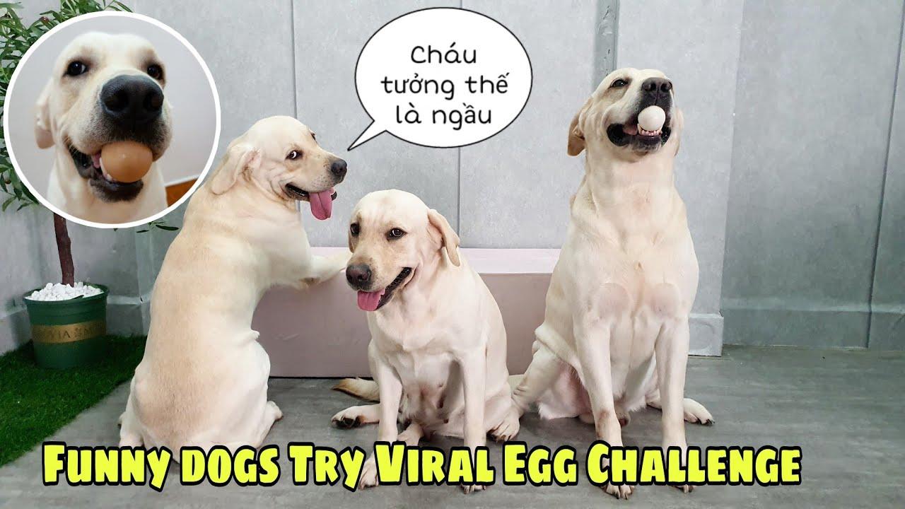 Thử thách nhặt trứng bỏ rổ - Trùm cuối Cà Rốt đã làm gì | Funny Dogs Try Viral Egg Challenge