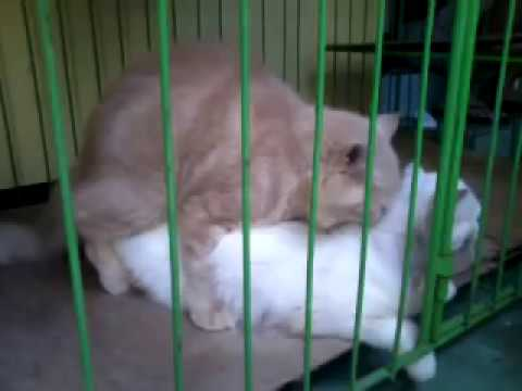 Brown Patched Tabby Amp Red Tabby American Shorthair From