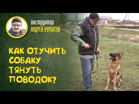Вопрос: Как приучить взрослую собаку гулять спокойно на поводке?