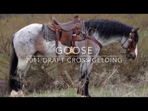 Goose- 2011 Draft Cross Gelding