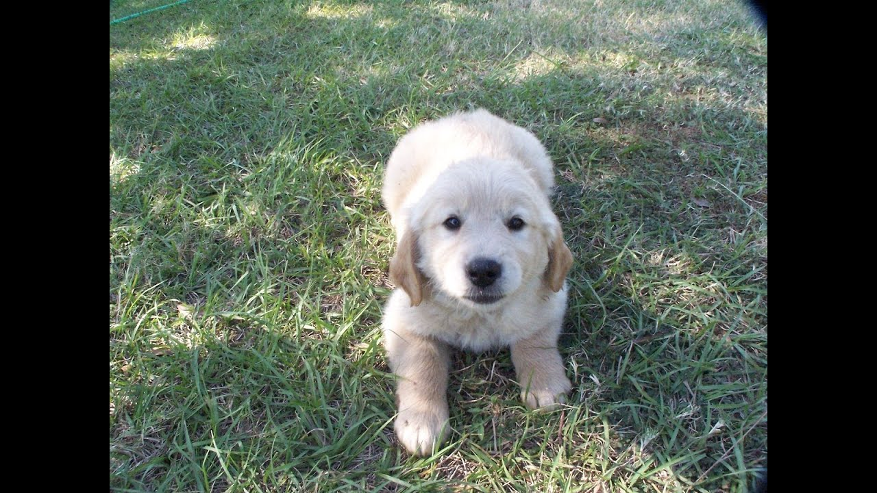 Golden Retriever Puppies Dogs For Sale In Little Rock Arkansas