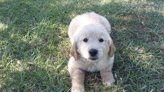 Golden Retriever, Puppies, For, Sale, In, Little Rock, Arkansas, Ar, Russellville, Jacksonville, She