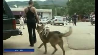 В Китае кот ездит верхом на собаке