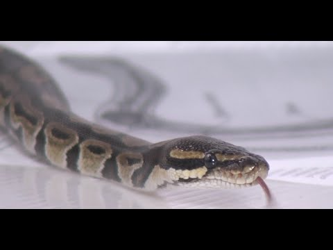 Test.tv: Все для животных. Содержание питона в домашних условиях