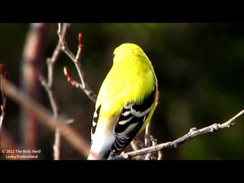 American Goldfinch (male) singing