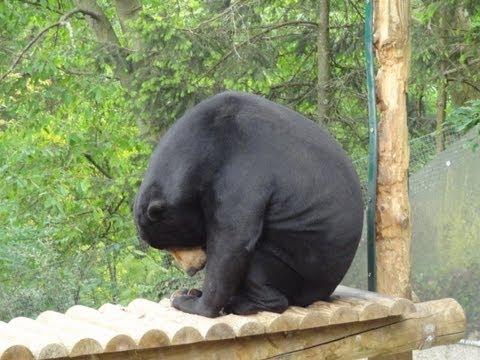 zoo de st martin la plaine l 39 ours malais le binturong youtube. Black Bedroom Furniture Sets. Home Design Ideas