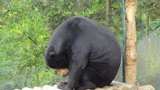 Zoo de St Martin la Plaine -  L'Ours Malais  -  le Binturong
