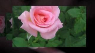 Rondelul rozei ce infloreste,Al.Macedonski