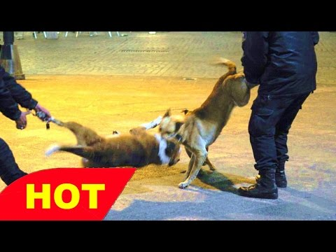 Dog Fighting in the USA documentary