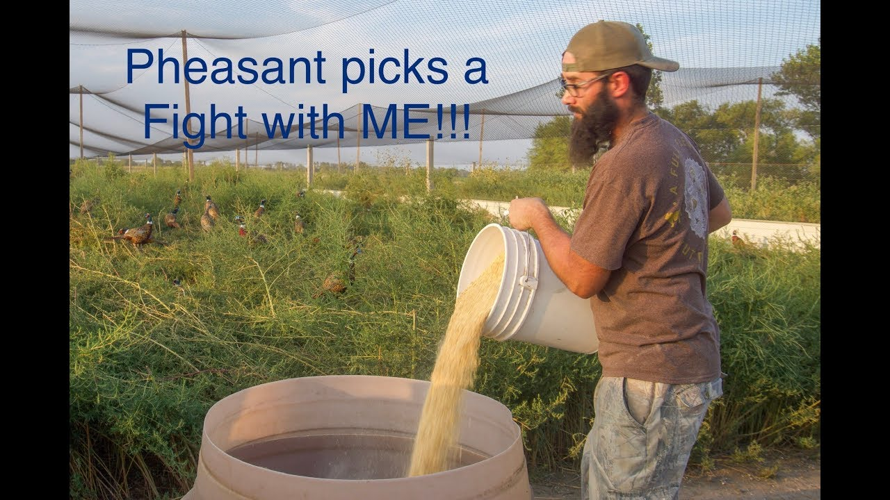 Filling the Feeders at the PHEASANT FARM!!! (I FIGHT a Pheasant!) #1
