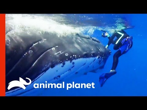Humpback Whale Tries To Save Diver From Tiger Shark | Weird, True & Freaky