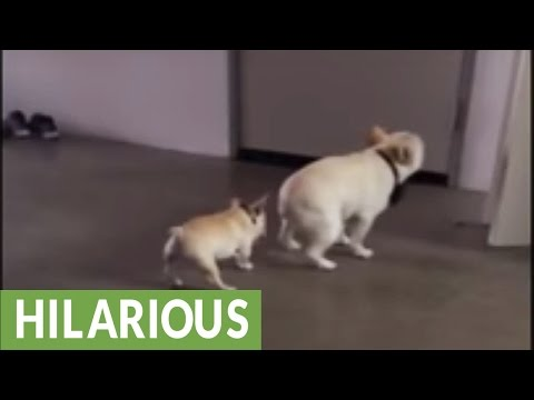 Bossy French Bulldog puppy annoys older brother