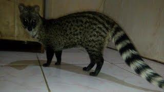 Dunia Binatang - Musang Rase Jitot Dibiarkan Beberapa Bulan Jadi Musang Rase Galtot