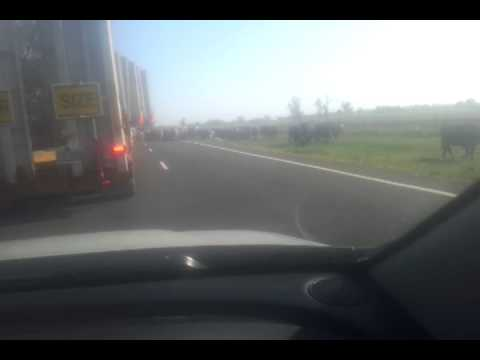 oversize load stopping for cattle narrabri nsw
