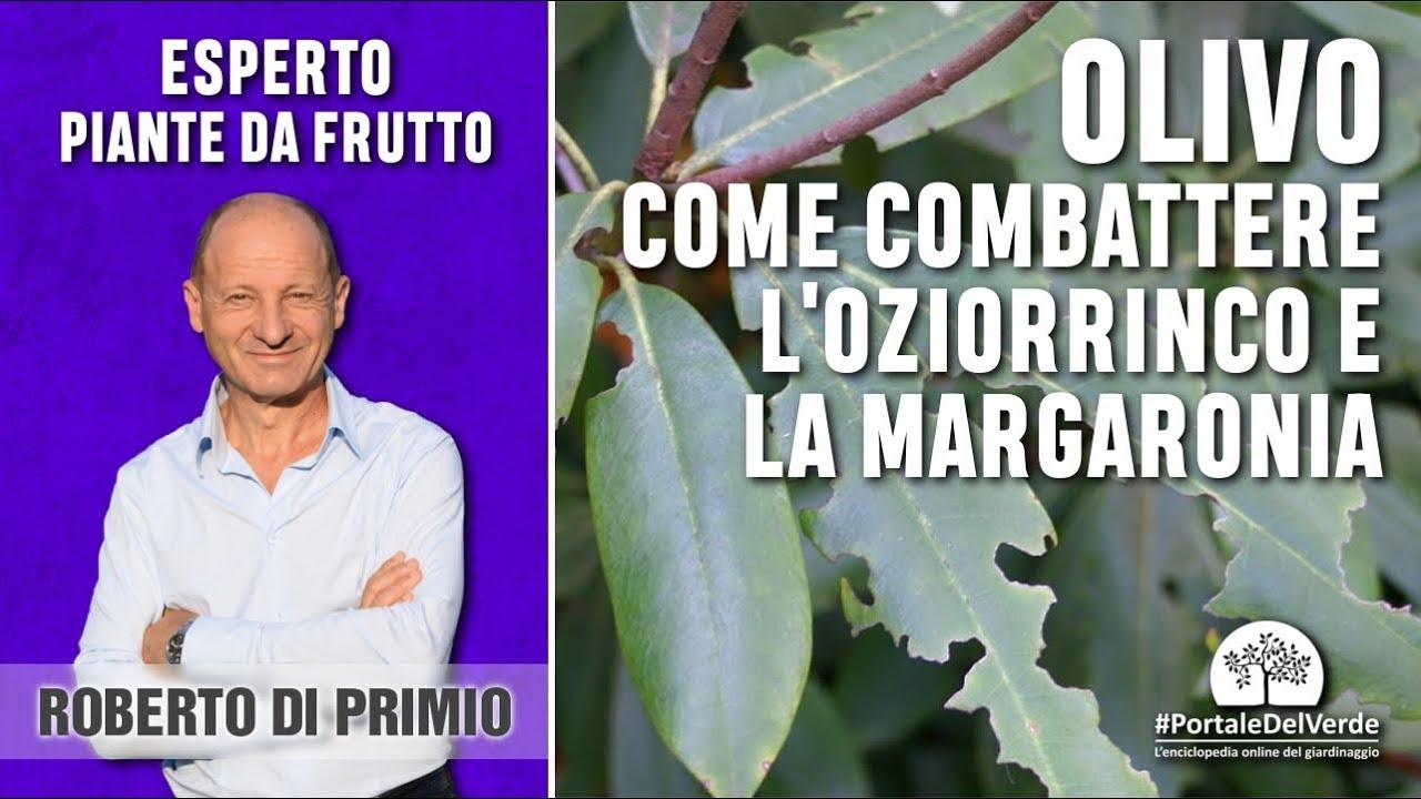 Piante Di Olivo : Come combattere l oziorrinco e la margaronia dell olivo