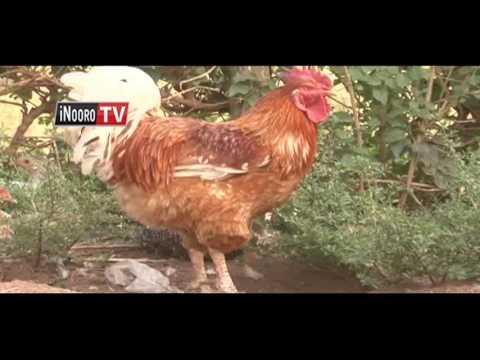 Arimi kuuria thuguri ya nguku kuuma Uganda ihingwo kaimana