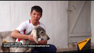 Один из самых красивых и быстрых: популярный тайган в Кыргызстане