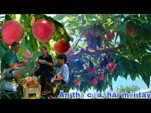 Lạc lối vườn Đào Tiên ngàn tỷ trái thấy mê, VC con cái ăn thả cửa no rồi mà chữa hay #967