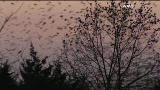 Bird invasion drives town bonkers