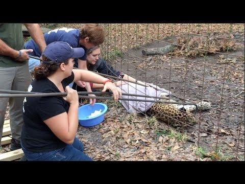 Cheetaro Leopard Has a Seizure