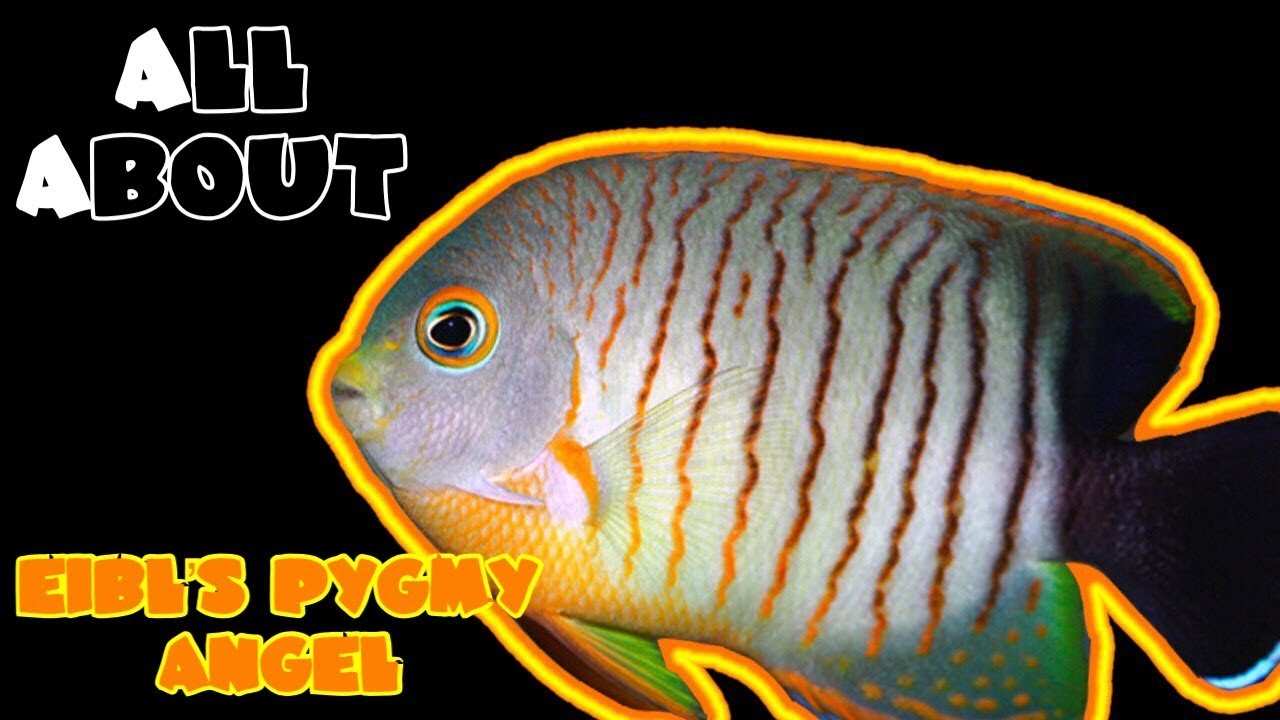 all about the red stripe angelfish or eibl s pygmy or dwarf