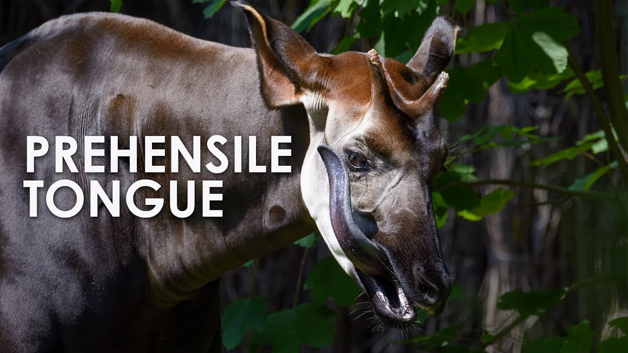 Download Okapi: The Forest Giraffe with a Prehensile Tongue