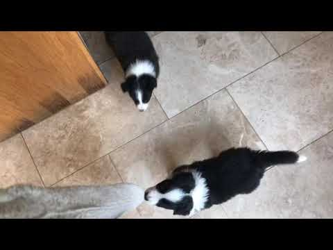 6 Week-old Border Collie Puppies At Play