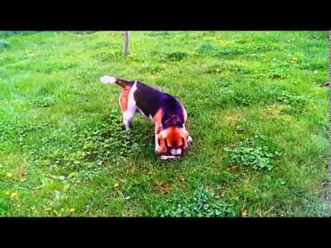 Beagle funny moments, Beagle dog funny, Beagle barking