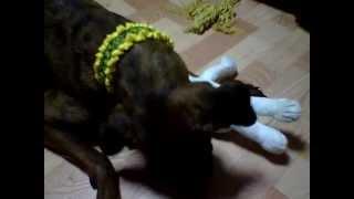 グレートデンのシャルちゃん2歳と土佐犬のお姉さん琥珀ちゃん10歳の...