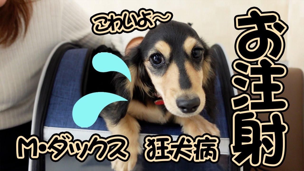 ダックスの子犬を連れて狂犬病の予防接種に行ったら…