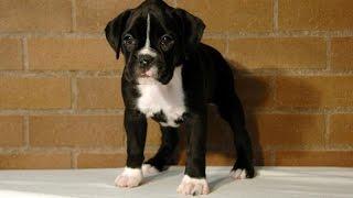 Marilyn  Sealed Brindle Boxer Pup  6 weeks
