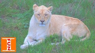Парк львов Тайган выпуск львов катаемся на паровозике Lions Park Taigan(Мы в уникальном парке львов Тайган!!! (Белогорск, Крым) Это самый крупный парк львов в Европе! Мы попали на..., 2016-05-06T07:25:18.000Z)